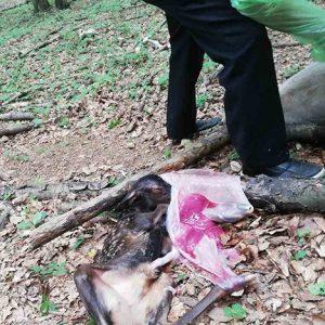 Бременна кошута убиха бракониери в Рибарица, задържаха ги!